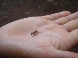 Small_chameleon