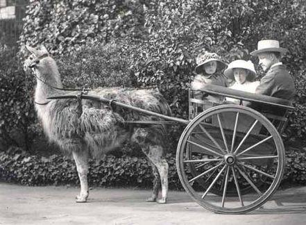 Llama_ride