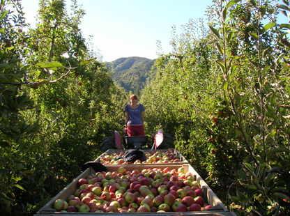 Apple_picking_