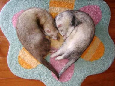 Ferret_heart