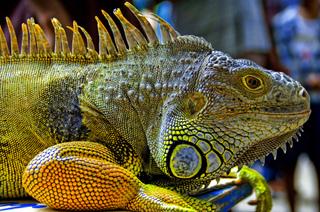 Flick_lizard