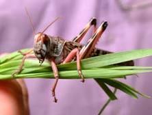 Locust_food