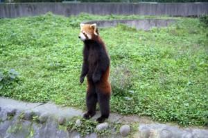 Red_panda_standing