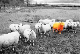 Red_sheep