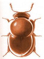 Slime_mold_beetle