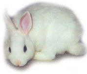 White_rabbit_1