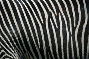 Zebra_zoo
