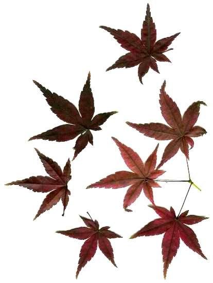 leaf tattoos. Zatoichi Japanese tap dancing