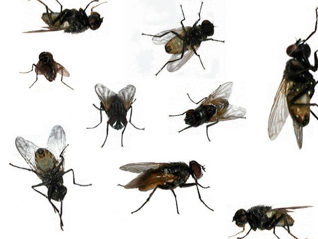 52_flies