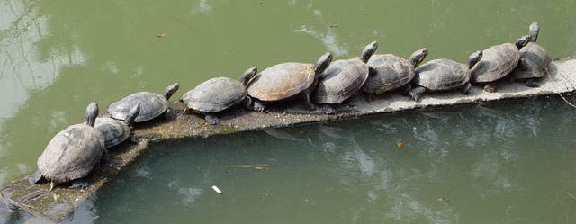 pack_of_turtles - Truly extremely unusual, bizarre, amazing facts - Weird and Extreme