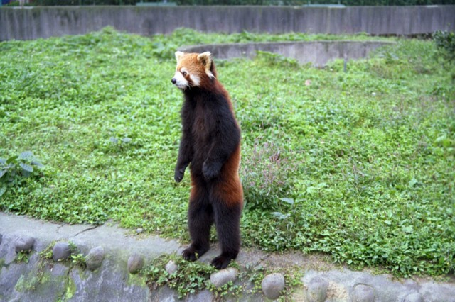 http://growabrain.typepad.com/photos/uncategorized/red_panda_standing.jpg